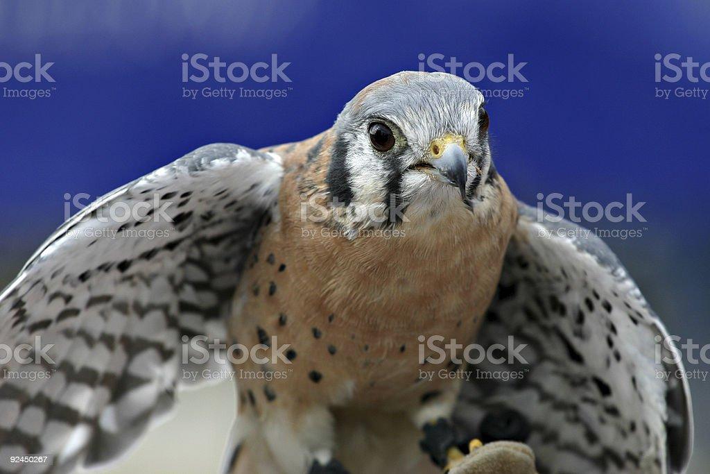 American Kestrel Falcon (Falco sparverius) Close-up stock photo