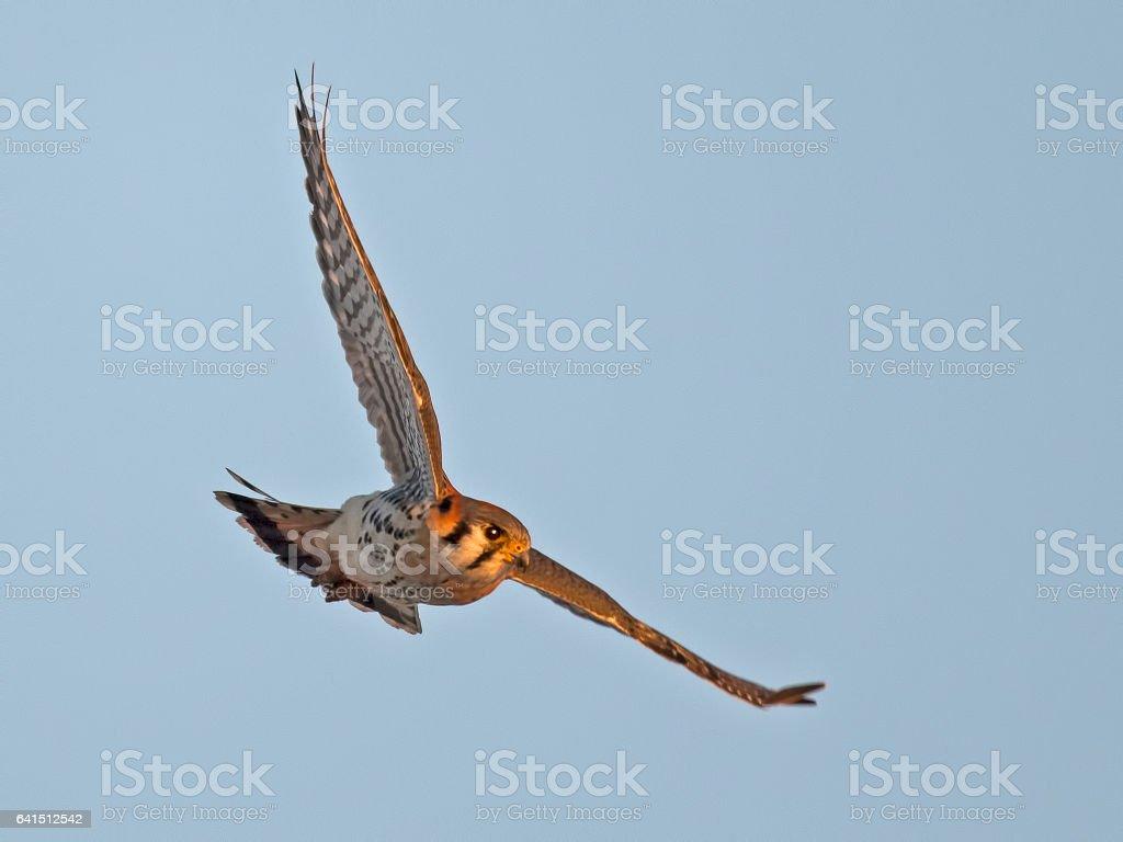 American Kestrel in Flight stock photo