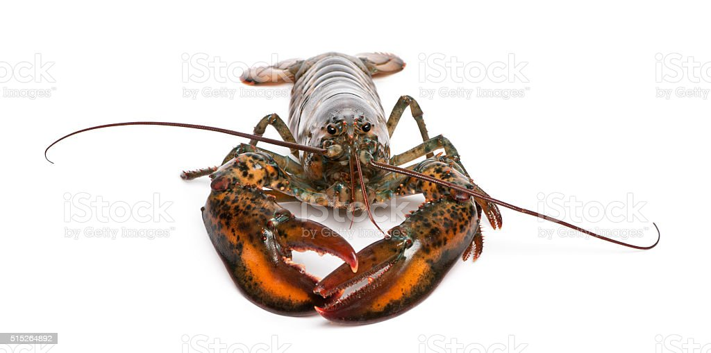 American lobster, Homarus americanus, in front of white background stock photo