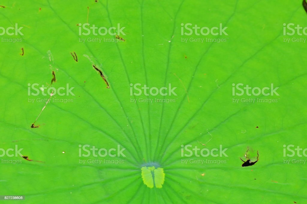 American Lotus Lily pad with radiating leaf veins stock photo