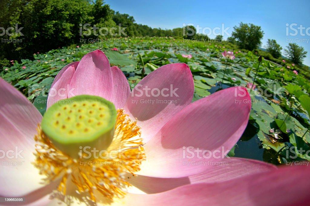 American lotus royalty-free stock photo