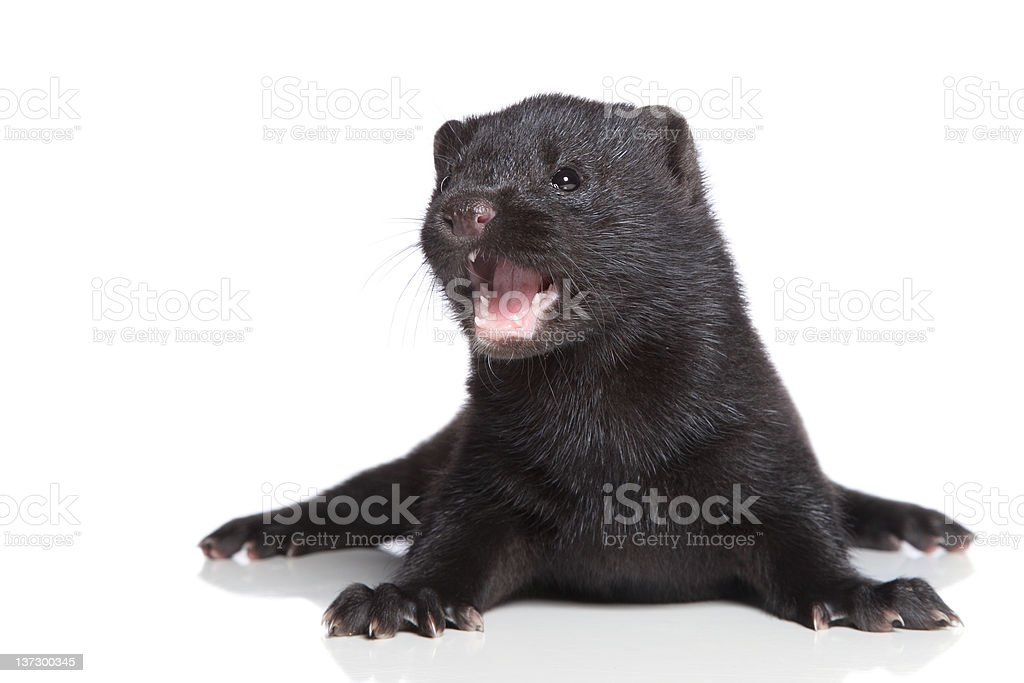 American Mink 1 month stock photo