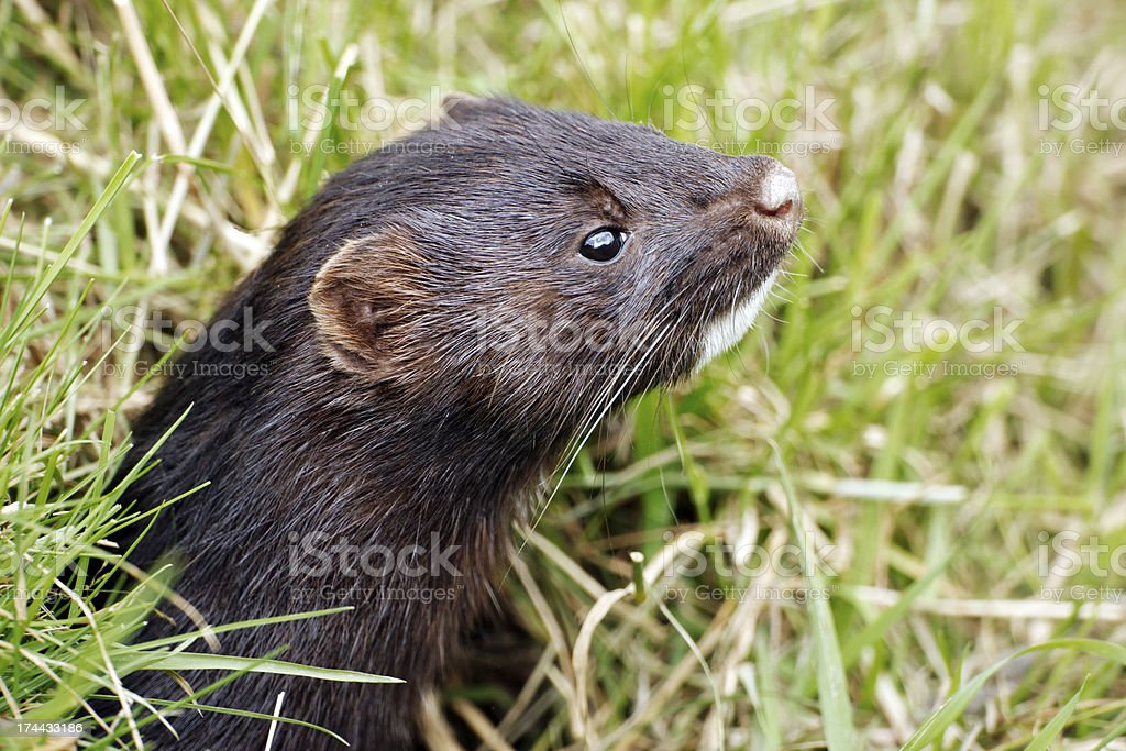 American mink, Mustela vison stock photo