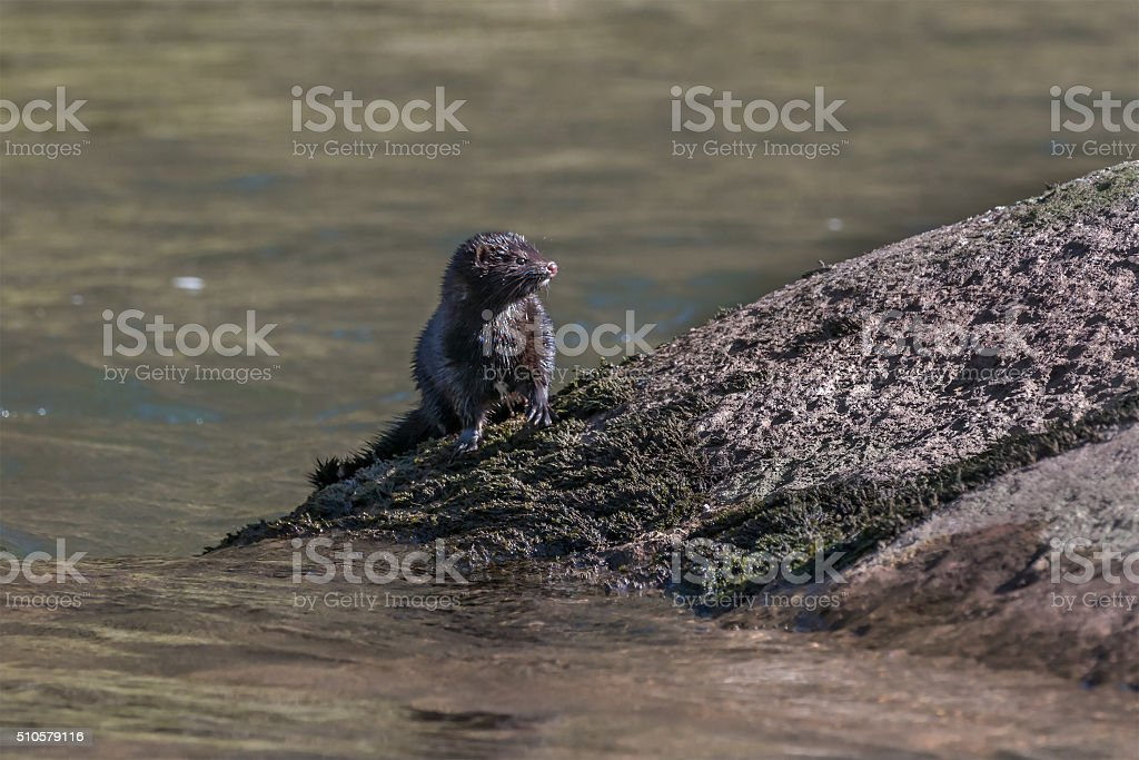 American mink on the River Usk stock photo