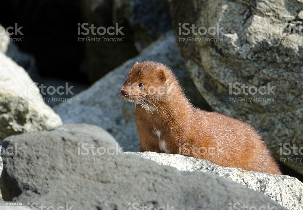 American Mink with Wet Fur - Victoria, British Columbia stock photo
