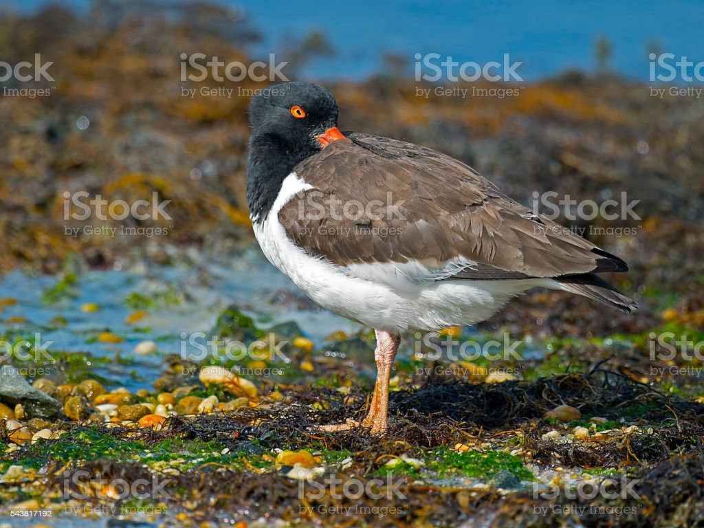 American Oyster Catcher stock photo