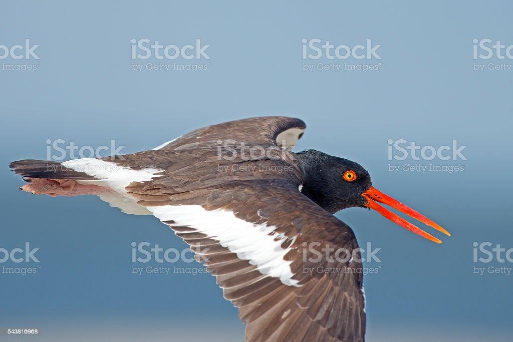 American Oyster Catcherin Flight stock photo
