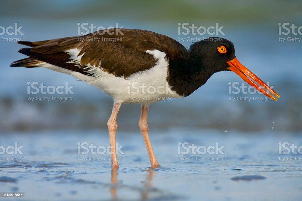 American Oystercatcher 2 stock photo