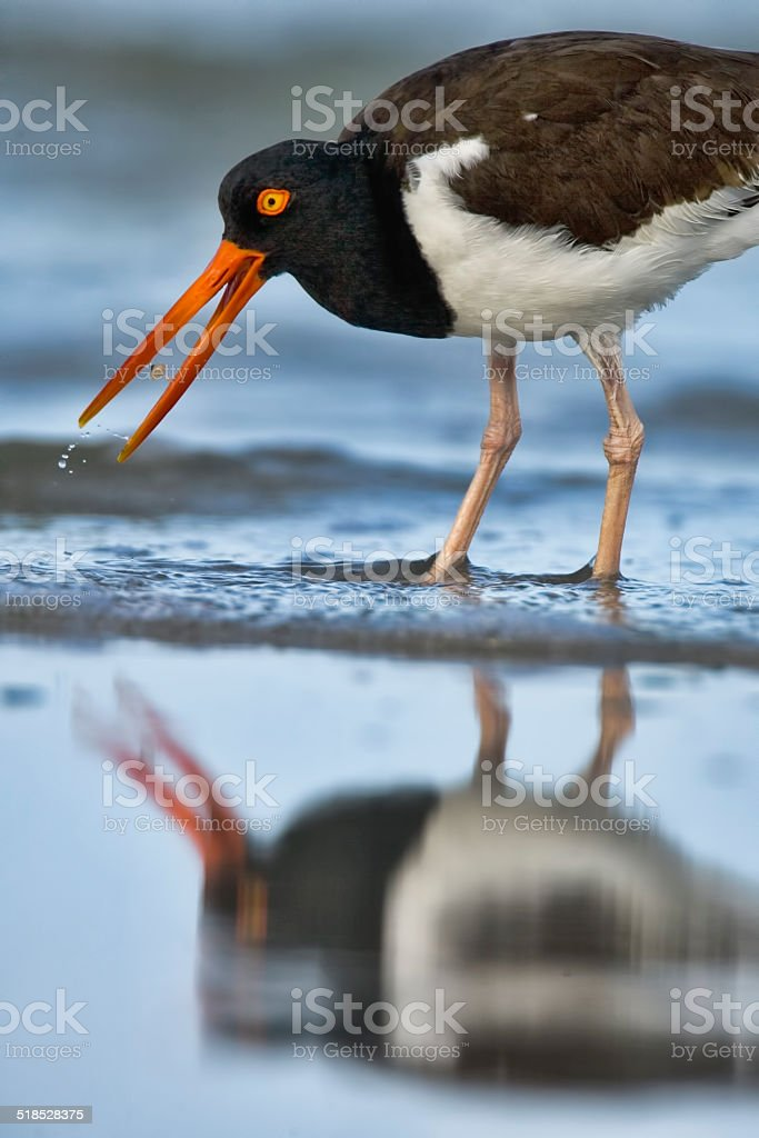 American Oystercatcher 3 stock photo