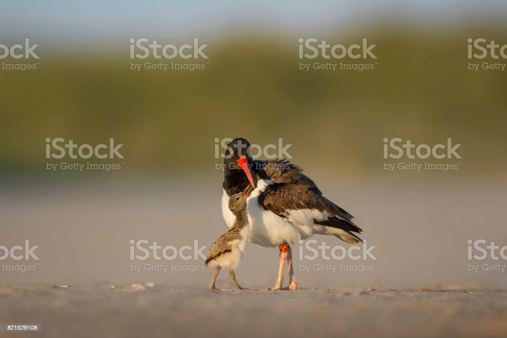American Oystercatcher Adult and Chick stock photo