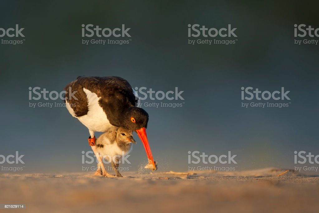 American Oystercatcher Family stock photo