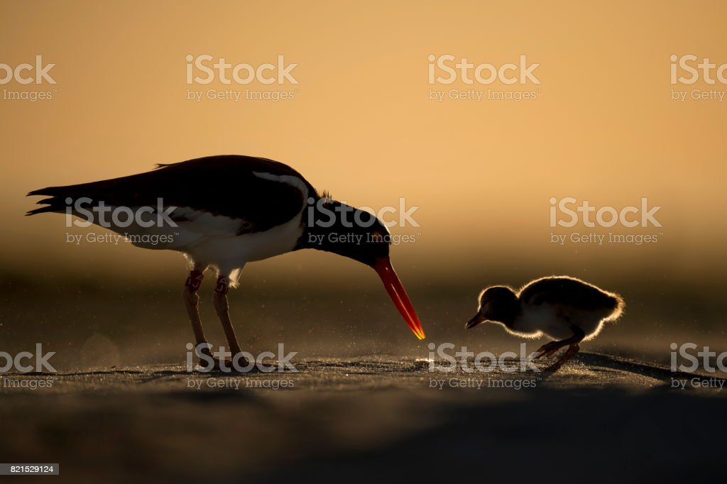American Oystercatcher Feeding a Chick stock photo