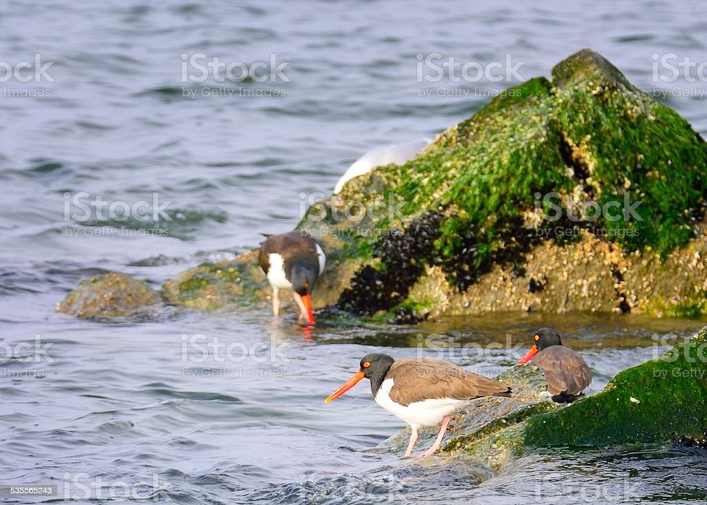 American Oystercatcher Feeding stock photo