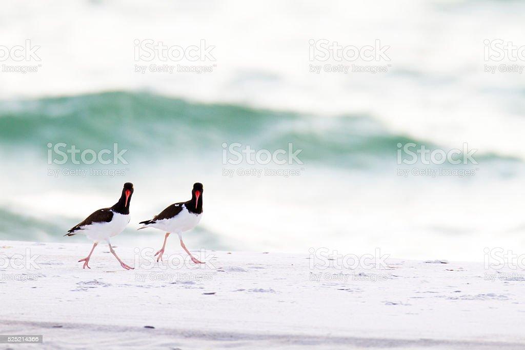 American Oystercatcher pair stock photo