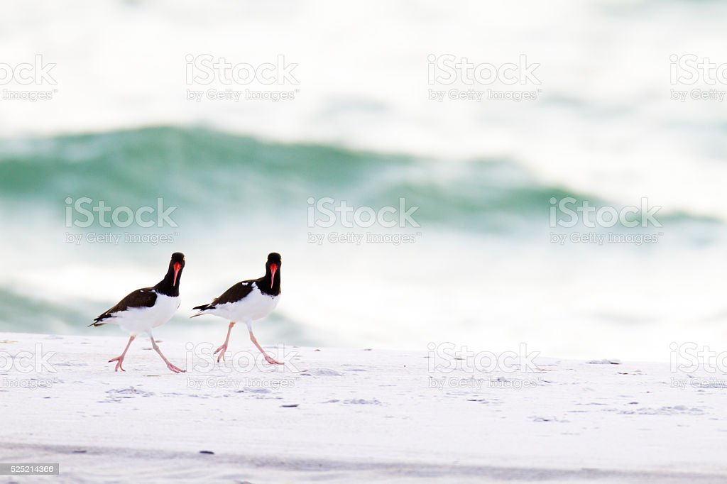 American Oystercatcher pair stock photo
