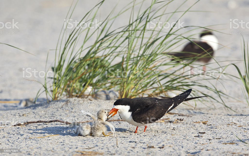 American Oystercatcher ( Haermatopus palliatus) stock photo