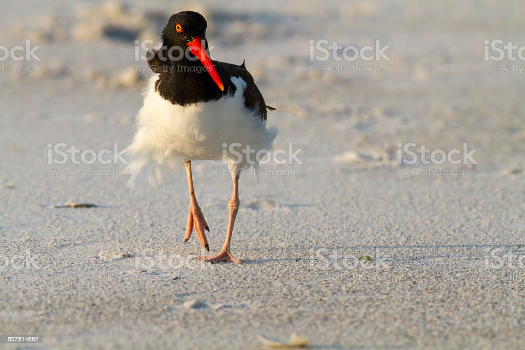 American Oystercatcher stock photo