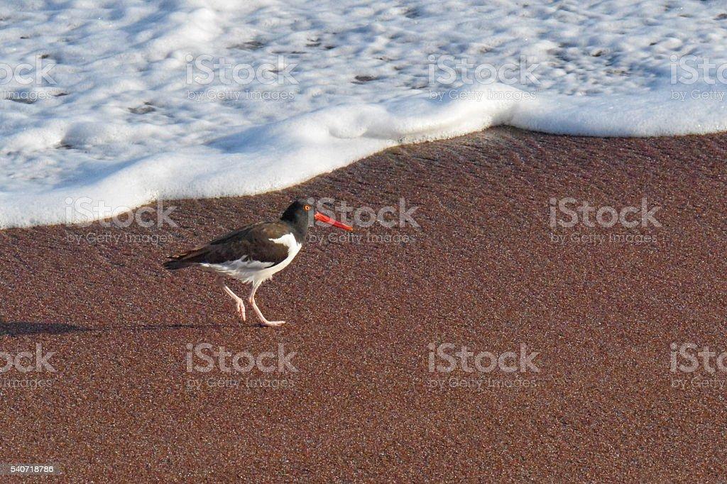 American Oystercatcher stock photo