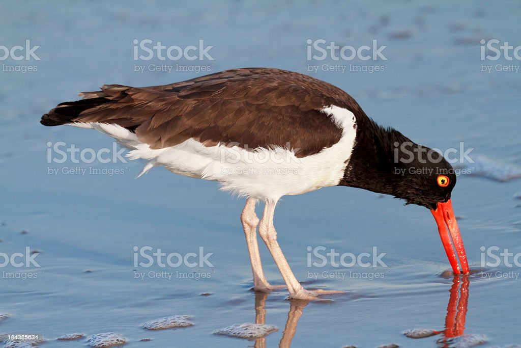 American Oystercatcher (Haematopus palliatus) Probing For Food stock photo