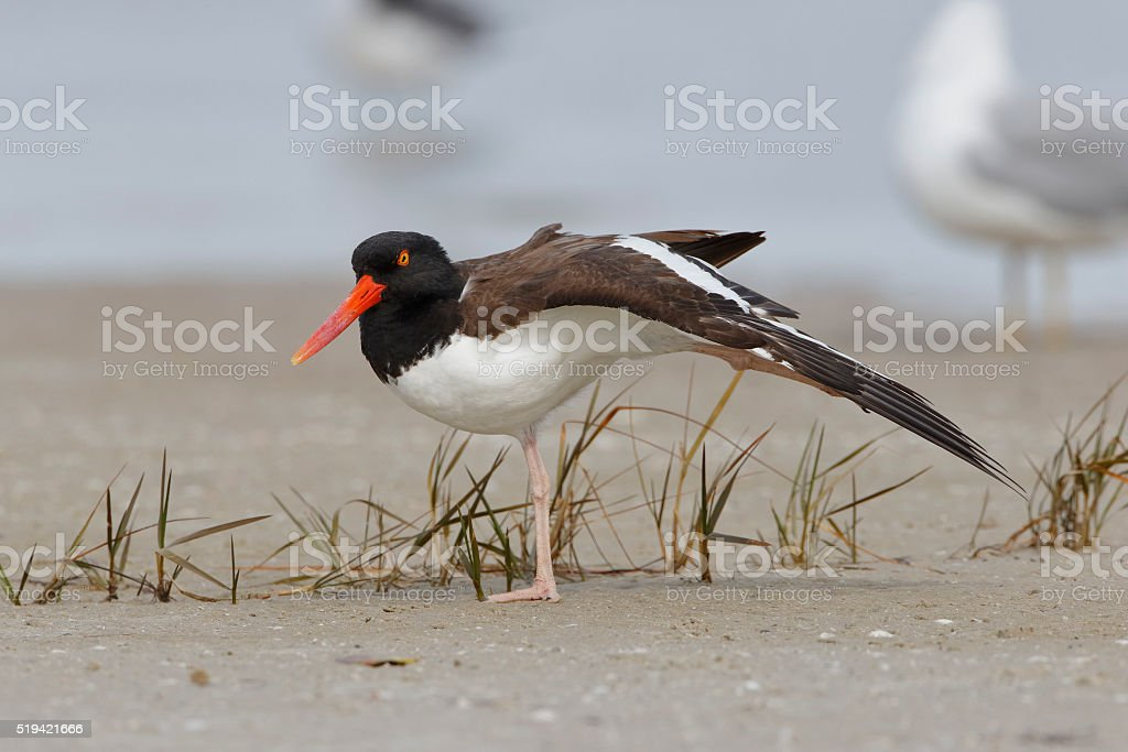 American Oystercatcher Stretching its Wing on a Florida Beach stock photo