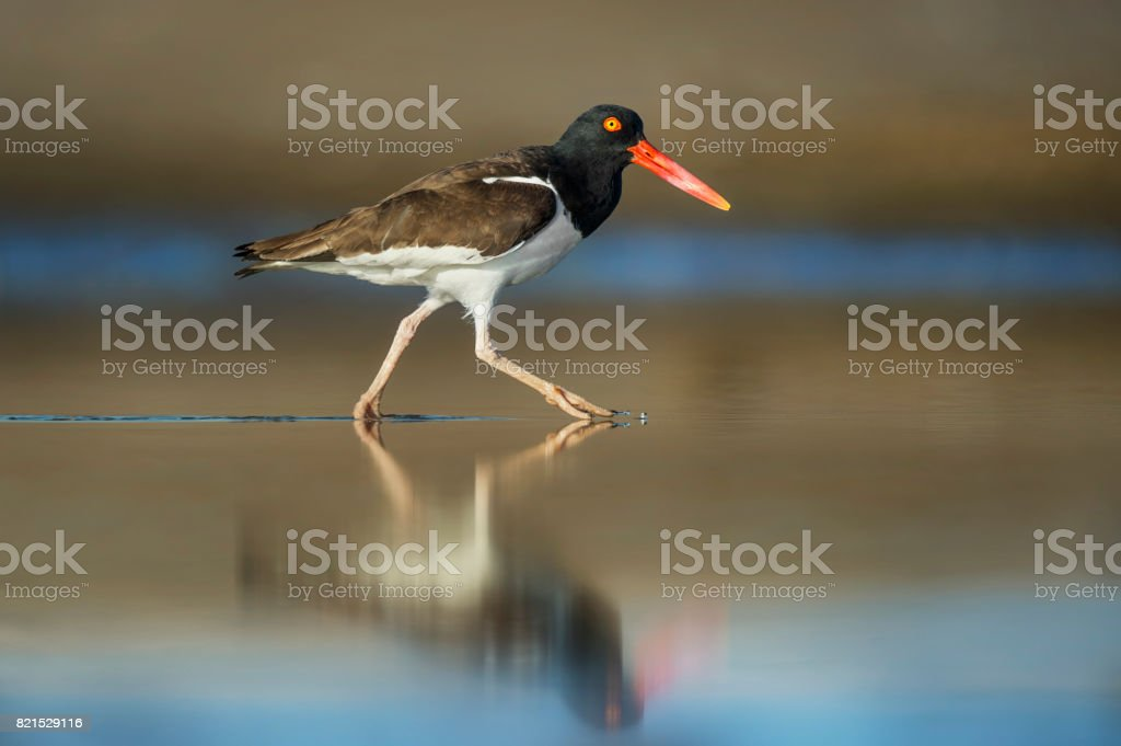 American Oystercatcher Walking in Water stock photo