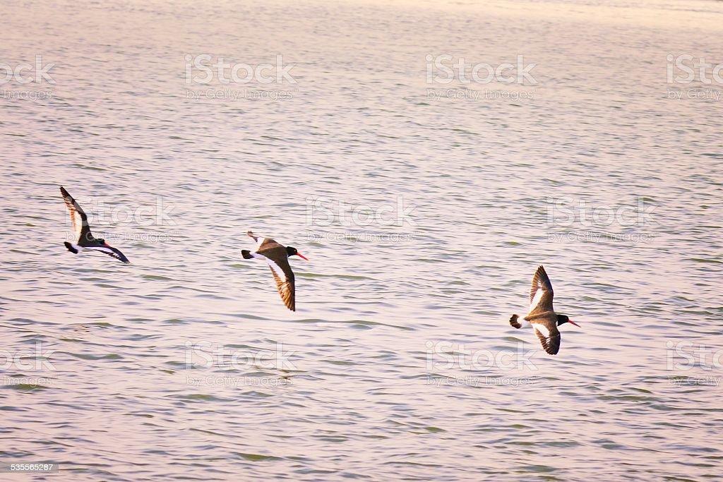 American Oystercatchers Hunting stock photo