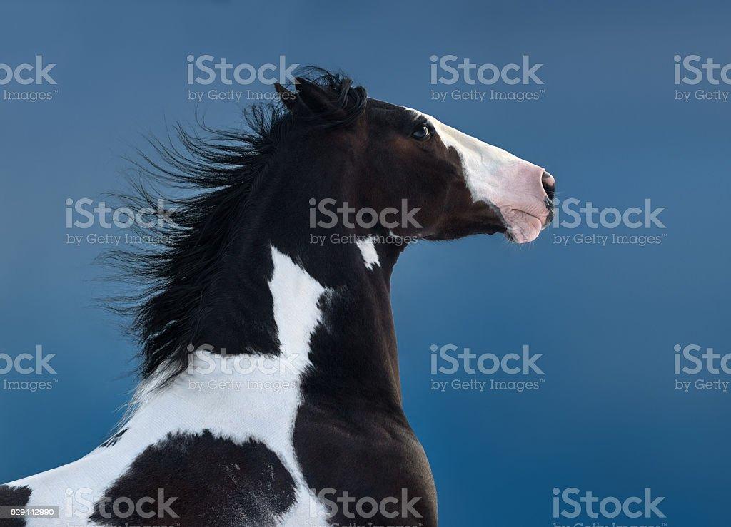 American Paint horse. Portrait on dark blue background. stock photo