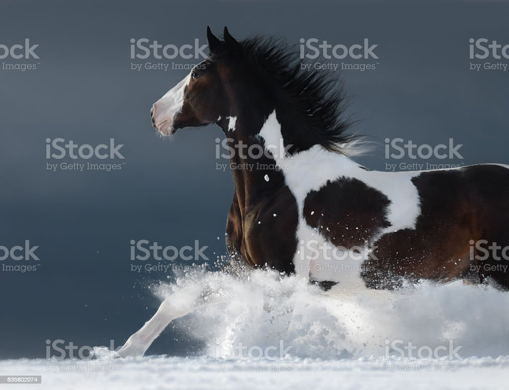 American Paint horse running gallop across winter snowy field stock photo