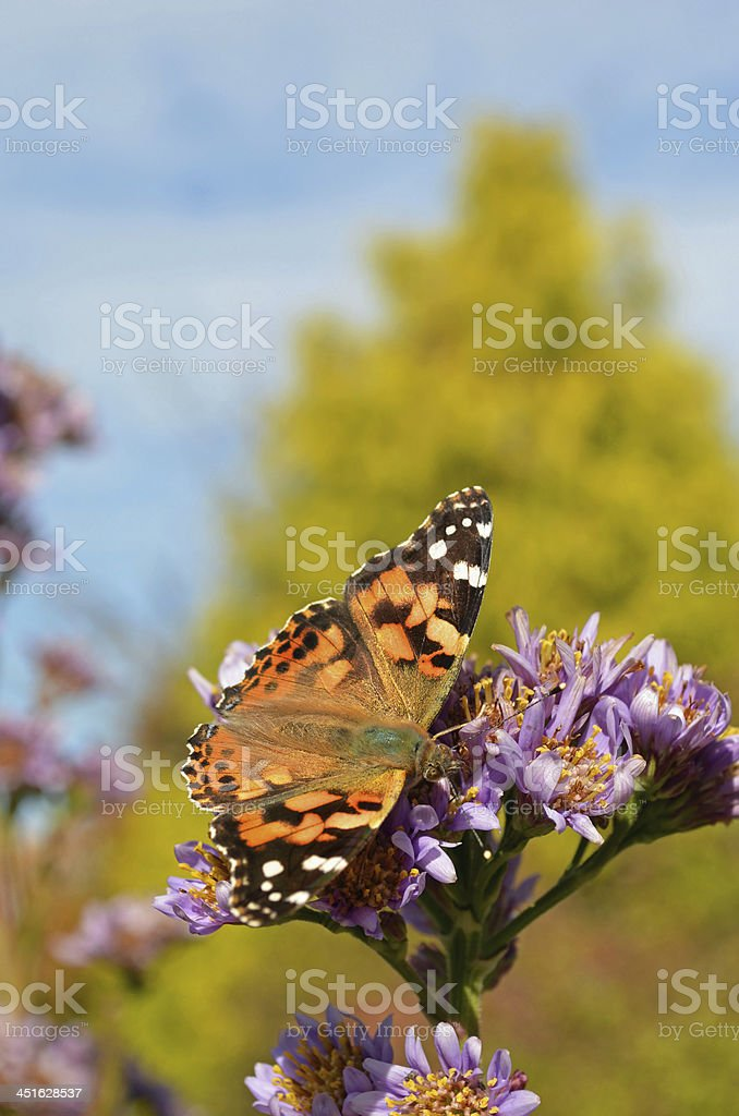 American Painted Lady Butterfly in Fall stock photo