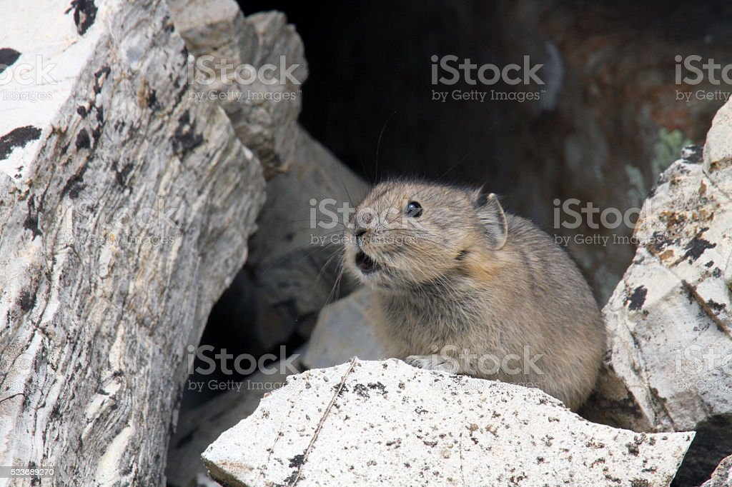 American Pika Calling stock photo
