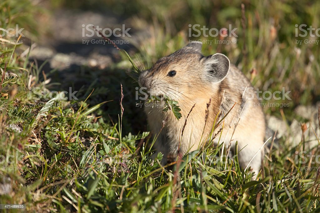 American Pika Collects Food in Rocky Mountain National Park stock photo
