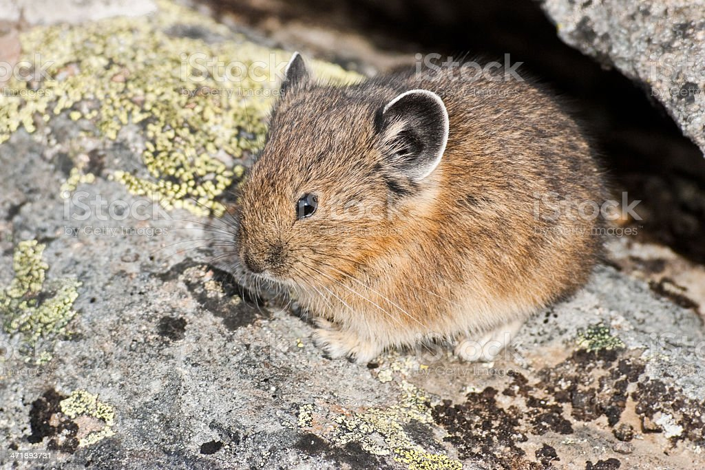 American Pika Hiding in a Rock Crevice stock photo