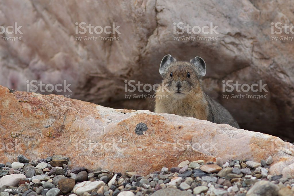 American Pika - Jasper National Park stock photo