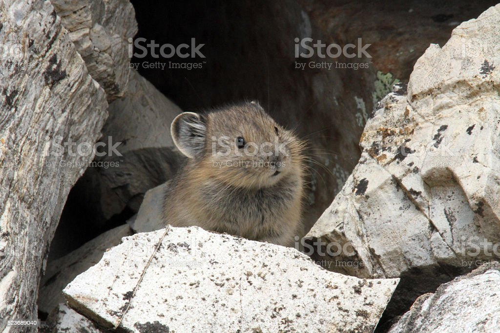 American Pika stock photo