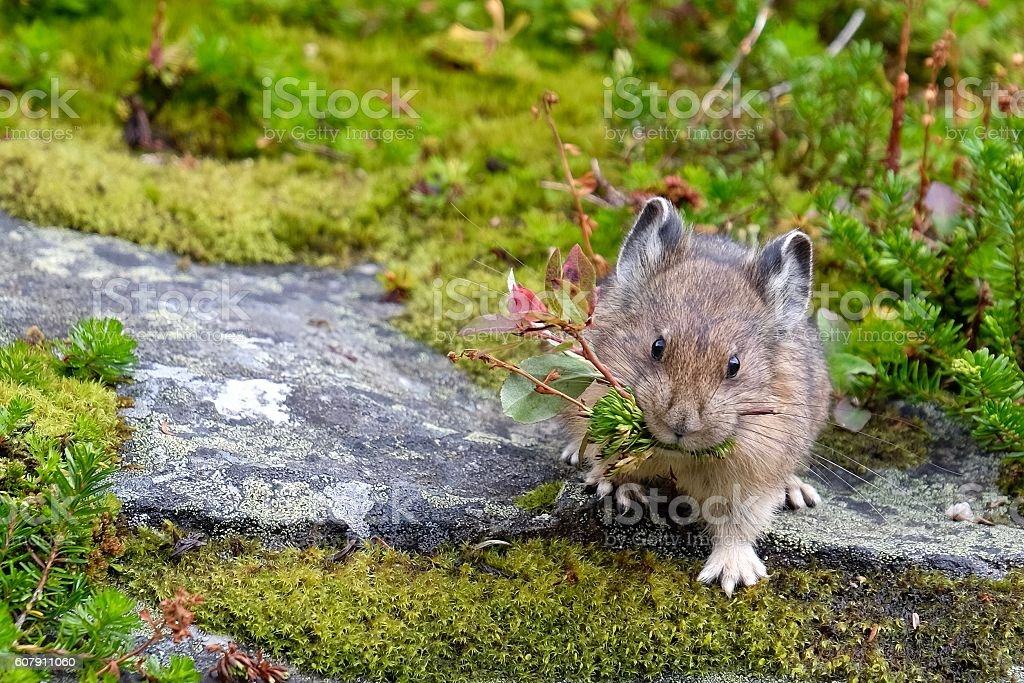American Pika with grass in its mouth. stock photo