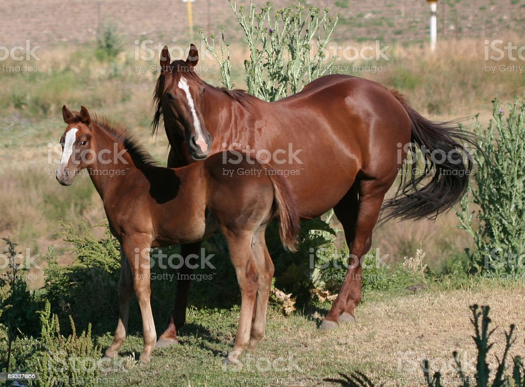 American Quarter Horse and Colt royalty-free stock photo