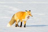 American Red Fox (Vulpes vulpes fulva)