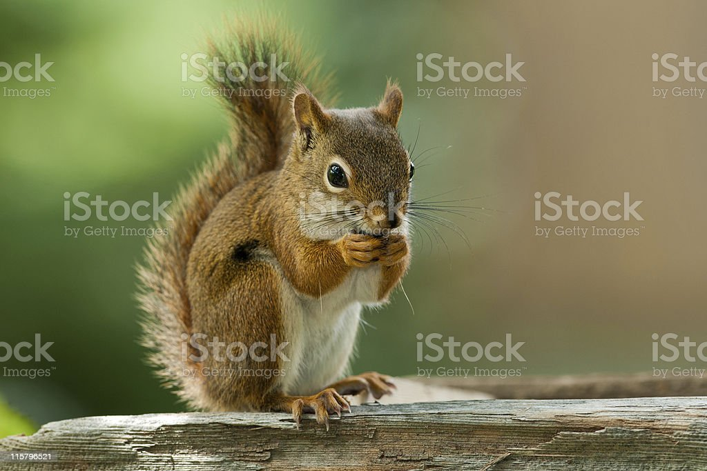 American Red Squirrel royalty-free stock photo