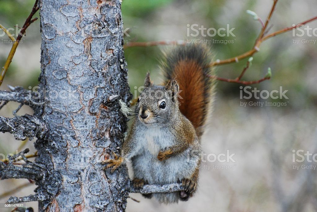 American red squirrel scratching his belly stock photo