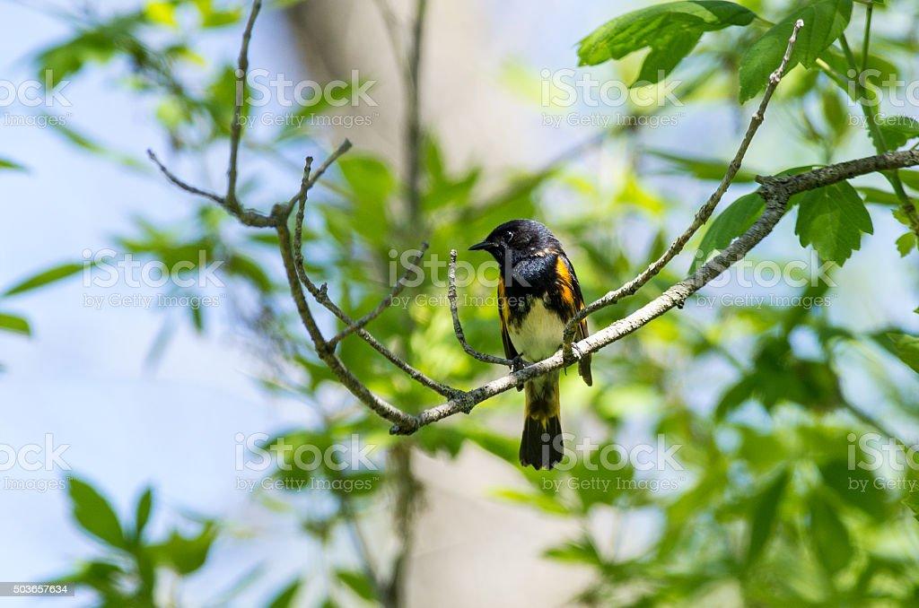 American Redstart stock photo