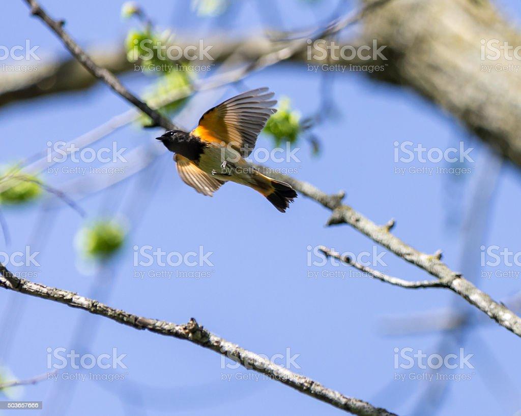 American Redstart takes Flight stock photo