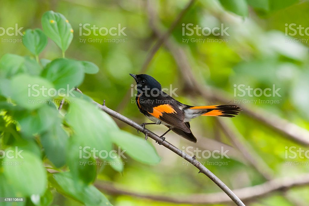 American Redstart Warbler perching, male bird in the wild stock photo