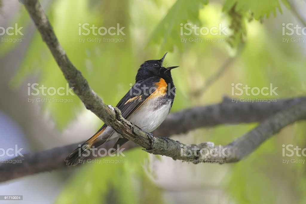 American Redstart Warbler Singing stock photo