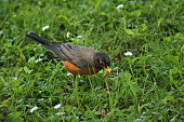 American Robin - Early Bird Catches the Worm