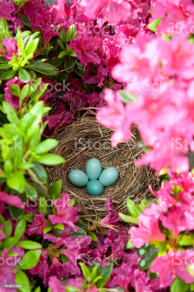 American Robin Eggs and Nest stock photo