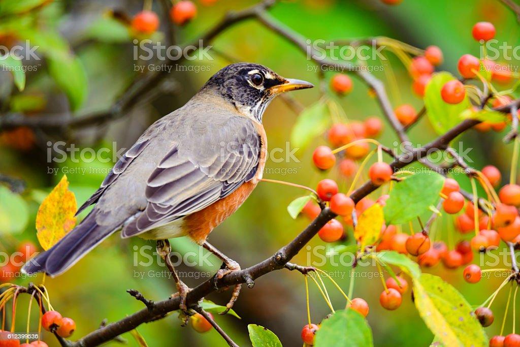 American Robin  (Turdus migratorius) feeding on orange berries stock photo