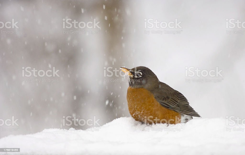 American Robin in a snowstorm royalty-free stock photo