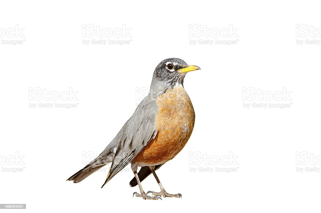 American robin isolated stock photo