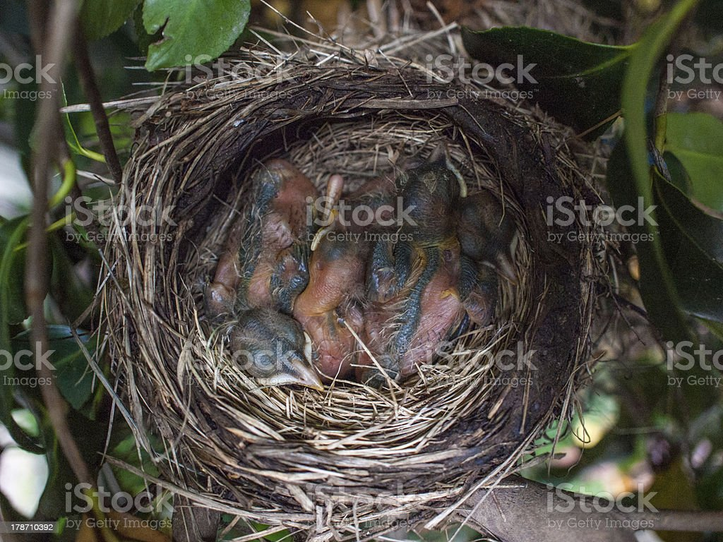 American Robin Newborn Babies in Nest stock photo