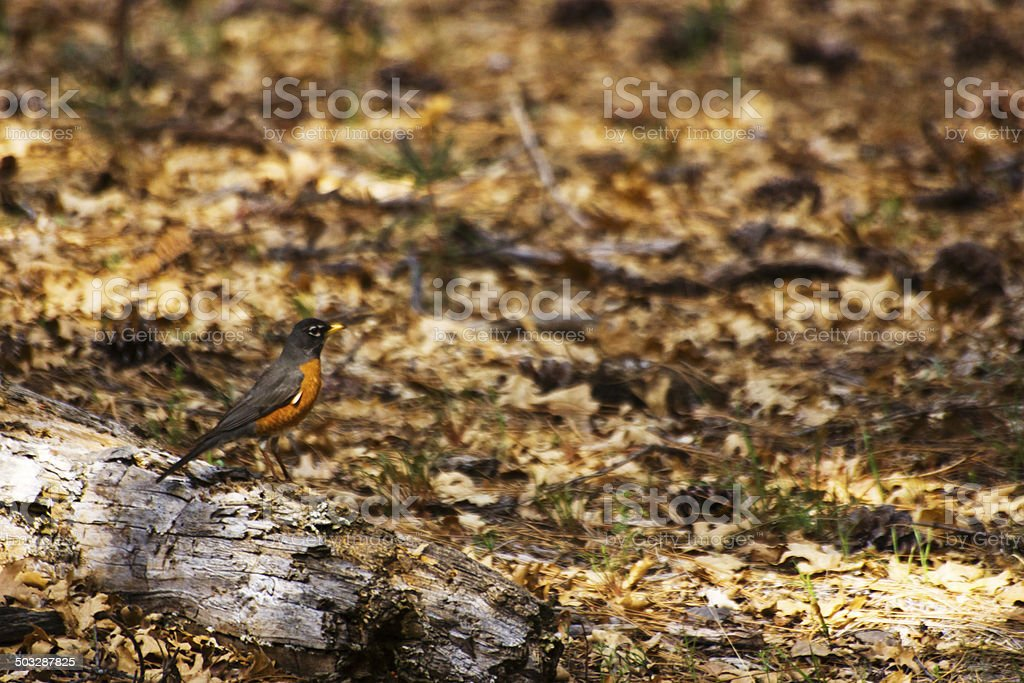 American robin on a log stock photo